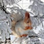 Белка в зимнем лесу